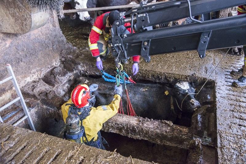 Zwei Feuerwehrmänner legen der Kuh in der Jauchegrube das Tierhebenetz an, damit das Tier mittels Hydraulikkran schonend gerettet werden kann.