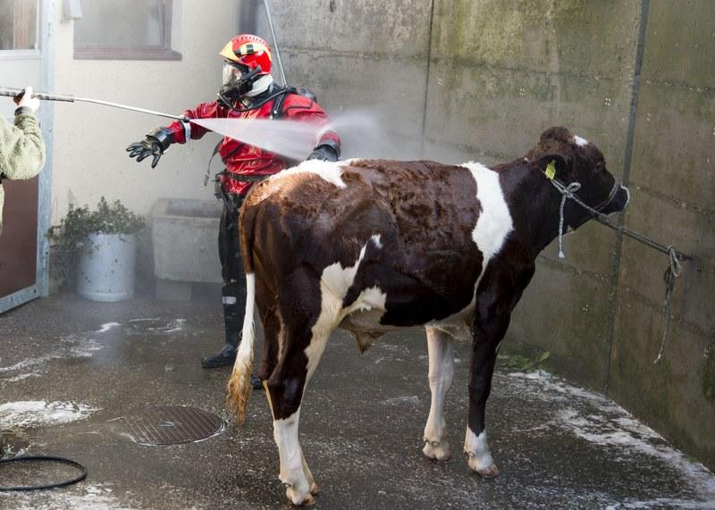 Der wiederum saubere Stier und auch der Feuerwehrmann wird geduscht.