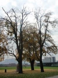 Baumfällung Linden