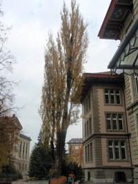 Baumfällungen Pappel