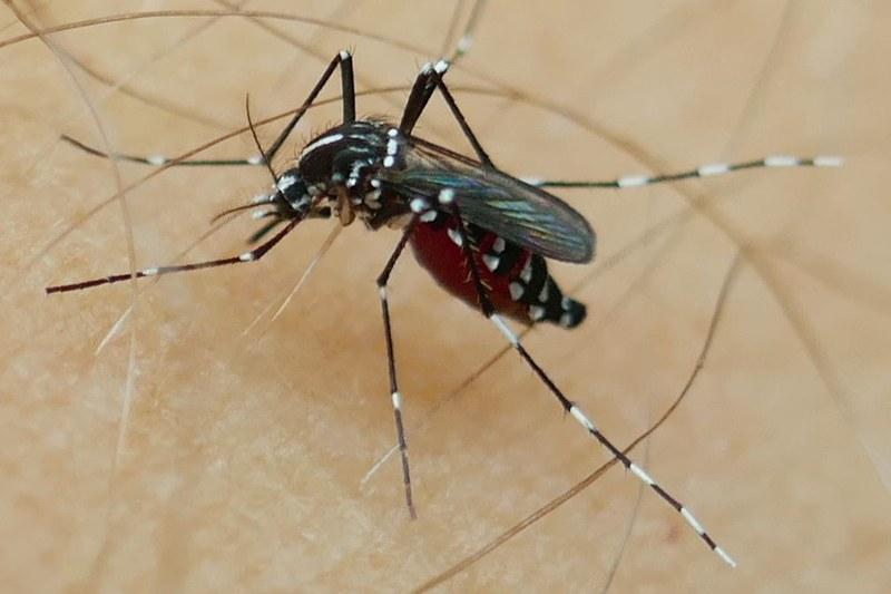 Tigermücke (Aedes albopictus) - Lugano. Bild: Pie Mueller/Swiss TPH.