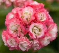"Historische Geranie ""Appleblossom Rosebud"", Bild: ProSpecieRara"