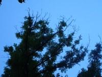 Bild 2: abgestorbene Triebe in der Lichtkrone