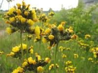 Hieracium caespitosum (Rasiges Habichtskraut), Bild: Annemarie Masswadeh