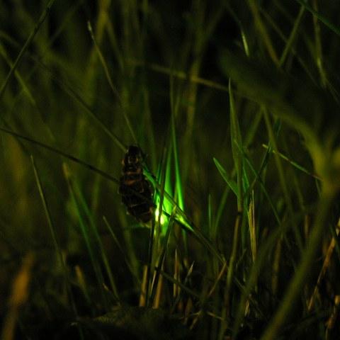 Weibchen des Grossen Glühwürmchens Bild Patrick Steinmann