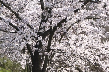 1 - Japanische Kirschbäume Rosengarten-Aargauerstalden Bild Marco Schibig. Vergrösserte Ansicht