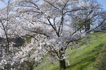 2 - Japanische Kirschbäume Rosengarten-Aargauerstalden Bild Marco Schibig. Vergrösserte Ansicht