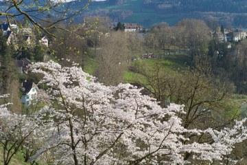 3 - Japanische Kirschbäume Rosengarten-Aargauerstalden Bild Marco Schibig. Vergrösserte Ansicht