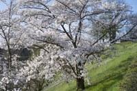 2 - Japanische Kirschbäume Rosengarten-Aargauerstalden Bild Marco Schibig