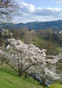 3 - Japanische Kirschbäume Rosengarten-Aargauerstalden Bild Marco Schibig