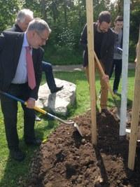 Der Stadtpräsident Alexander Tschäppät beim Pflanzen der Friedenslinde.jpg