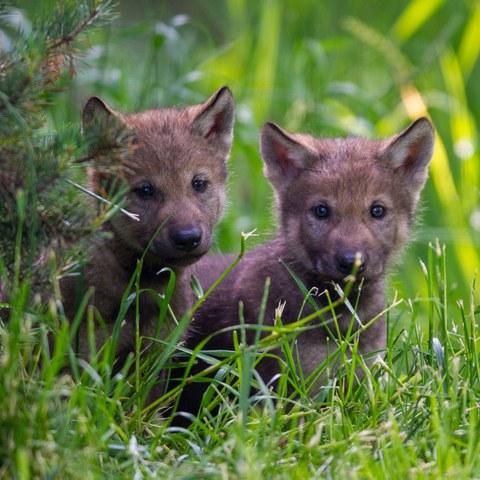 Junge Wölfe. Vergrösserte Ansicht
