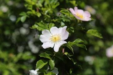 Rose. Vergrösserte Ansicht